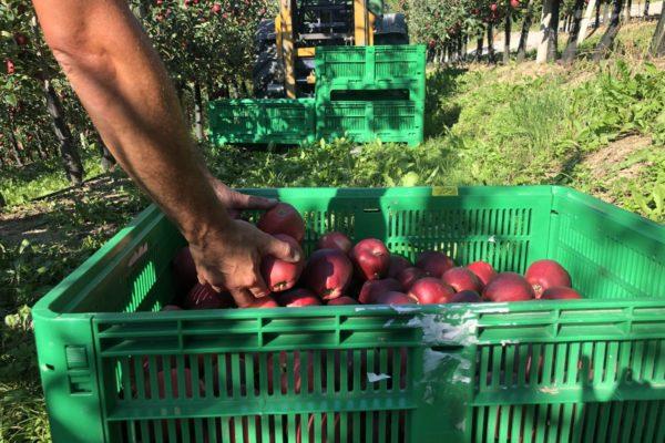 Raccolta Mele Azienda Agricola Endrizzi