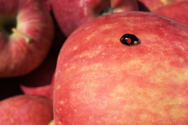 ilovetrentino mele