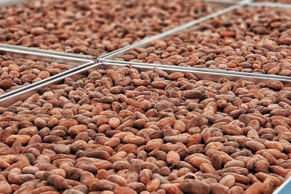 ciocomiti - fave di cacao