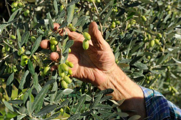 OlioCru olive raccolta mano