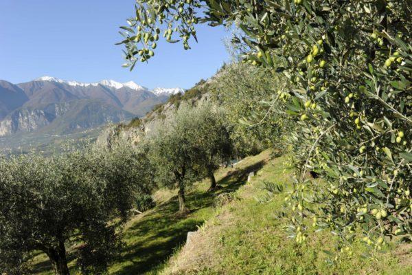 OlioCru territorio olivi