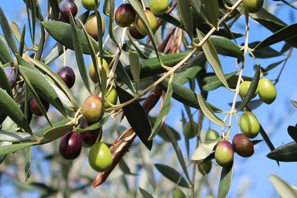 olivo del Garda Agririva DAO