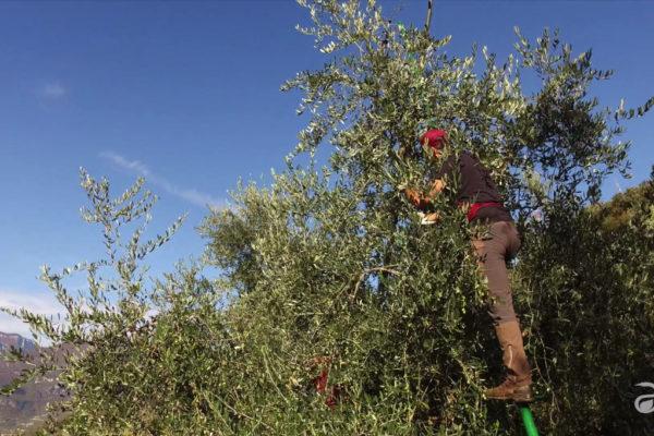 raccolta olive Agraria Riva del Garda DAO