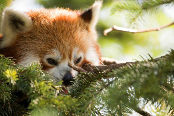 Panda-rosso-al-Parco-Natura-Viva