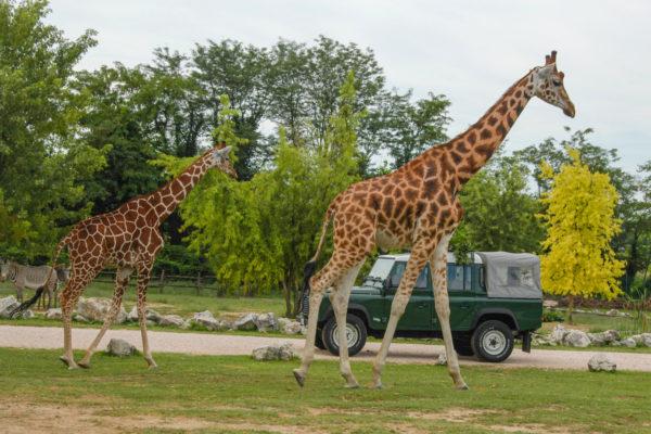 Parco Natura Viva safari giraffe