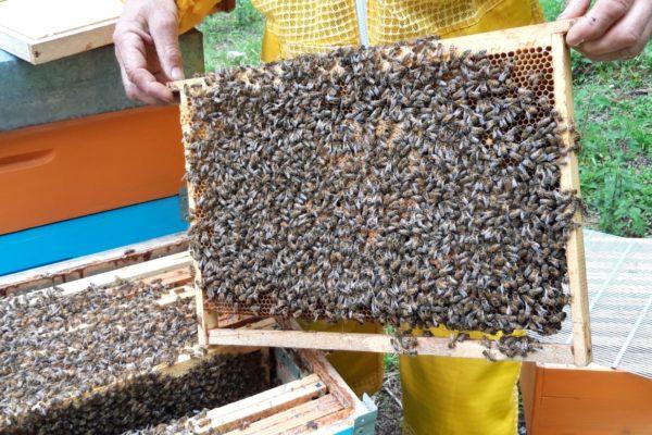 raccolta miele Edi Marcolla api
