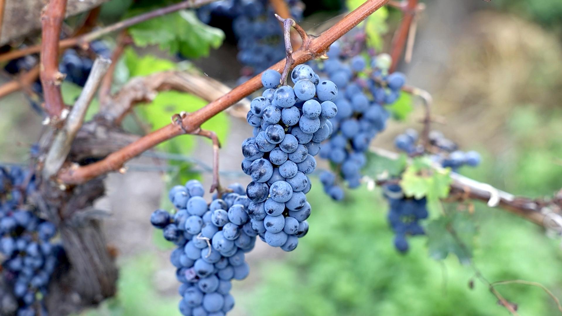 uva Cantina di Cortaccia produttori locali DAO